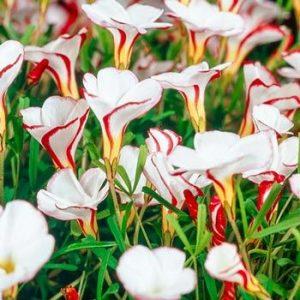 candy cane floristerias zaragoza