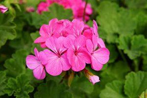 cuidados del geranio floristerias zaragoza
