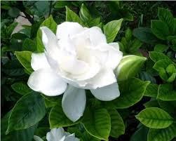 cuidado de las gardenias floristerias zaragoza