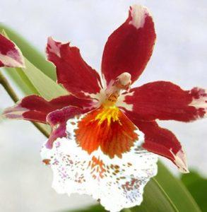 Orquídeas Cambria floristerias zaragoza