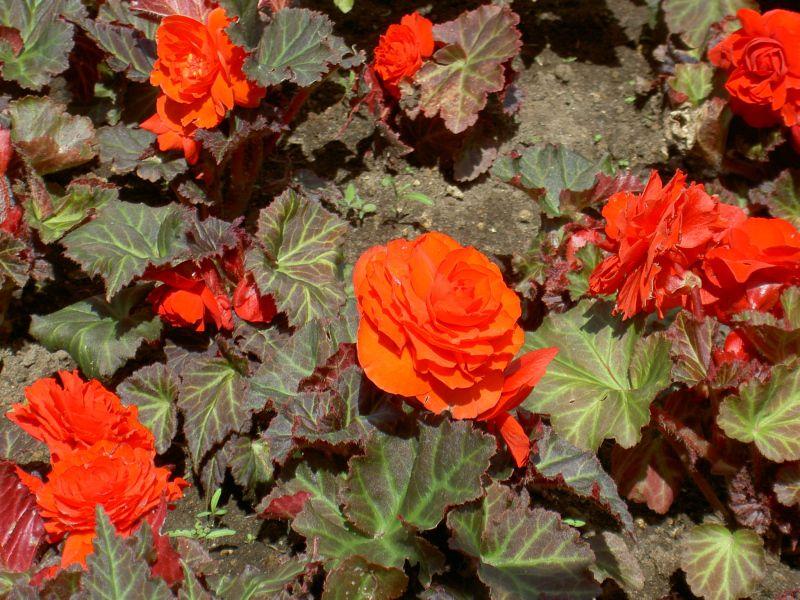 begonia tuberosa floristerias zaragoza