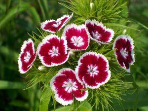 clavelinas floristerias zaragoza