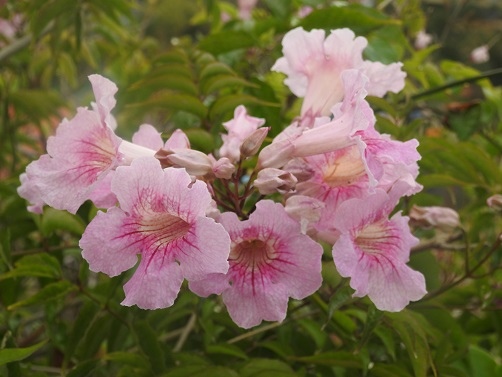 Bignonia rosa floristerias zaragoza