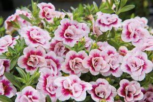 Calibrachoa doble floristerias zaragoza