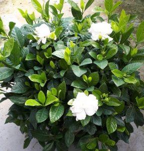 Gardenia floristerias zaragoza