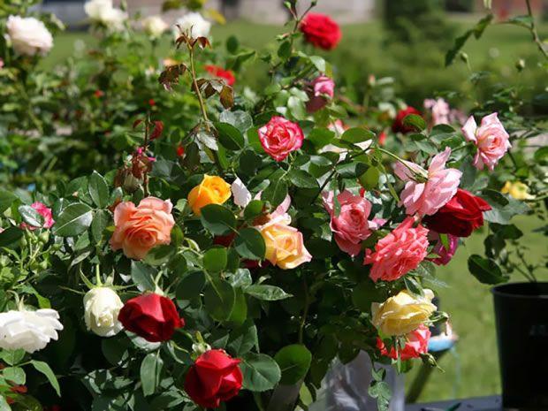 cuidado de los rosales floristerias zaragoza