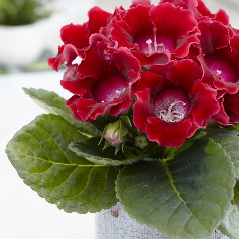 gloxinia floristerias zaragoza