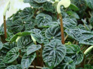 peperomia floristerias zaragoza