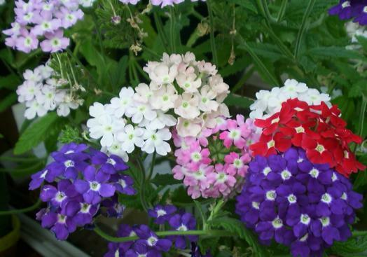 Verbena hybrida floristerias zaragoza
