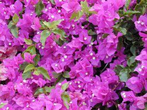 cuidados de la buganvilla floristerias zaragoza