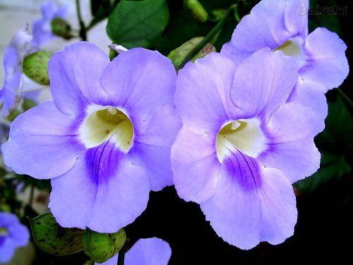 Enredadera de trompeta azul floristerias zaragoza