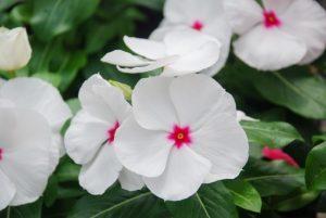 Vinca rosea floristerias zaragoza