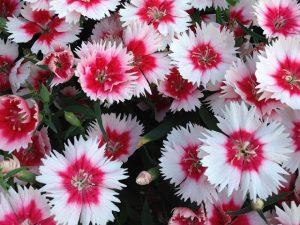 Clavel de china floristerias zaragoza