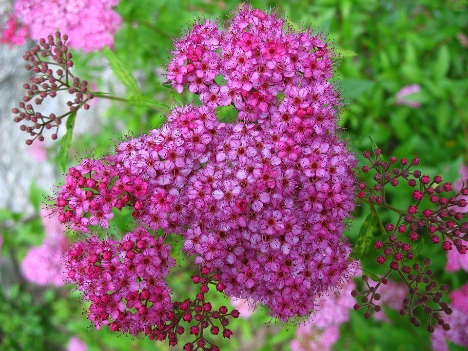 Espirea del japon floristerias zaragoza