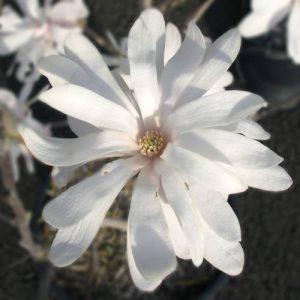 magnolia-estrellada floristerias zaragoza