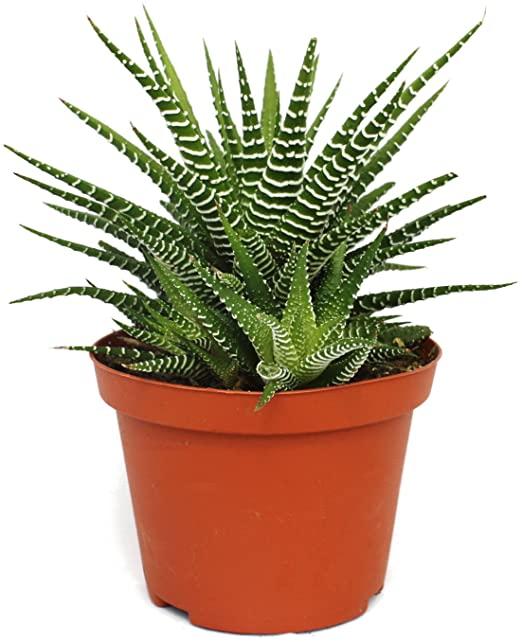 Haworthia fasciatafloristerias zaragoza