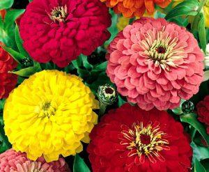 zinnia floristerias Zaragoza