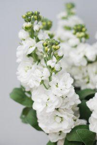 Matthiola incana floristerias zaragoza